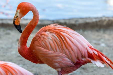 A single flamingo close up. Beautiful birds of the world.