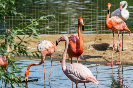 Flock of beautiful and graceful flamingo on the pond. Waterfowl birds in the city. Imagens