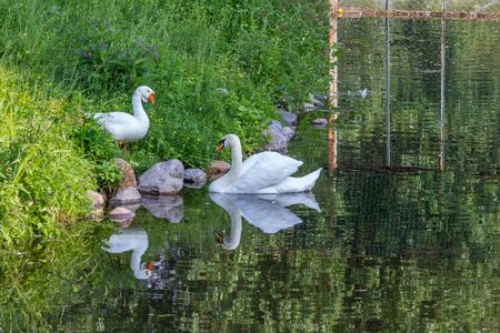 A white goose standing on the bank and white swan floating on the water. Friends on the lake. Birds in the city.