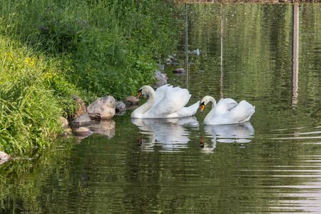 Couple of white swans floating on the green water. Birds in the city. Animal world of Russia. Swan lake in the summer. Most beautiful birds of the world.