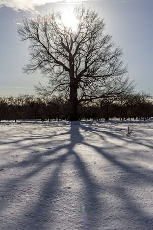 A tall tree, its shadows on the snow on background of bright sun.