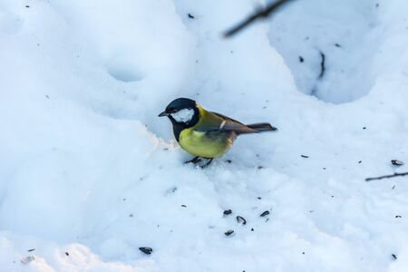01.01.09, Moscow, Russia. Life of birds in the city at winter time. Great tit on snow looking for food in winter park. Birds of Russia.