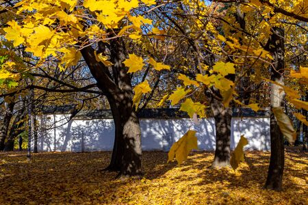 maple crown with yellowed leaves in the park. Reklamní fotografie