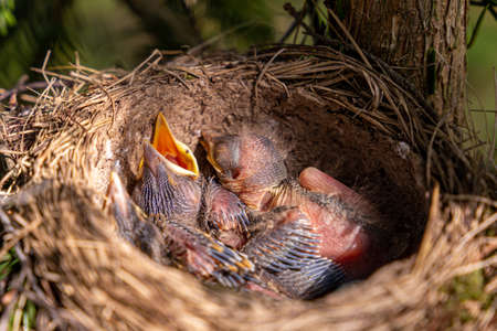 thrush nest on spruce in the forest. thrush chicks in the nest. The fieldfare (Turdus pilaris) is a member of the thrush family Turdidae.