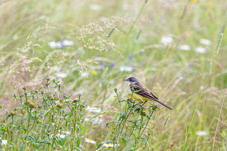 The western yellow wagtail (Motacilla flava) is a small passerine in the wagtail family Motacillidae. Birds of Europe and Asia. 스톡 콘텐츠