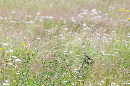 The western yellow wagtail (Motacilla flava) is a small passerine in the wagtail family Motacillidae. Birds of Europe and Asia.