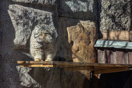 Pallas's cat (Otocolobus manul), also called the manul - a small wild cat with a broad, but fragmented distribution in the grasslands and montane steppes of Central Asia.