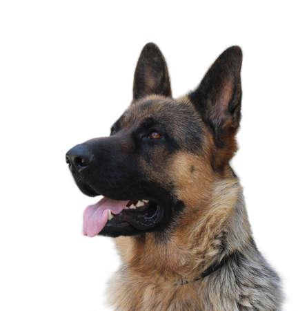 Duitse herder hond op een witte achtergrond Stockfoto