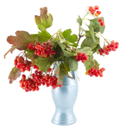 rowan, rowanberry, rowan-tree, sorb, wild ash, viburnum, guelder rose on a white background