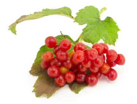 guelder rose berry: rowan, rowanberry, rowan-tree, sorb, wild ash, viburnum, guelder rose on a white background