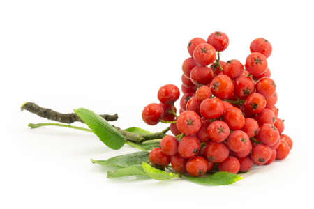 rowan, rowanberry, rowan-tree, sorb, wild ash, viburnum, guelder rose on a white background photo