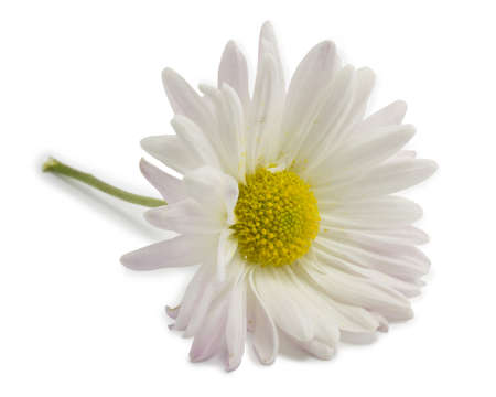 little white daisy on a white background Stock Photo