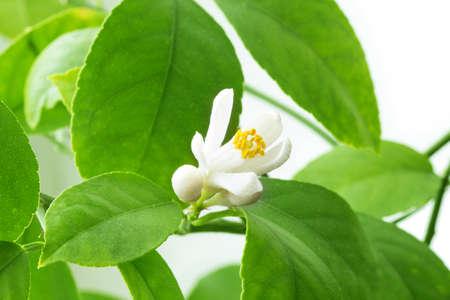 Zitronenblüten isoliert auf weißem Hintergrund Lizenzfreie Bilder