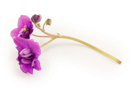 violet, flower isolated on white background photo