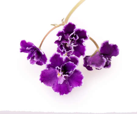 violet flower isolated on white background photo