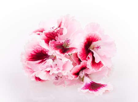 geranium flower isolated on white background photo
