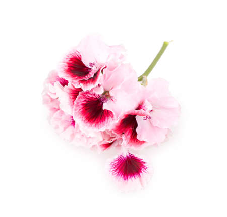 geranium flower isolated on white background photo