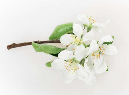 flower apple tree isolated on white background photo
