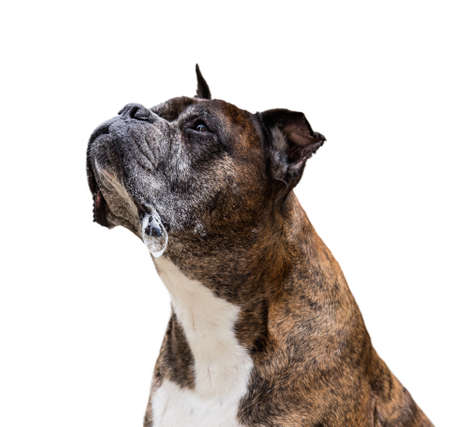 alt Boxer Hund