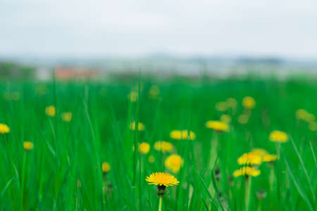 background grass dandelions green leaves photo