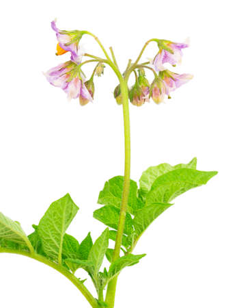 flowers and leaves of ripe potatoes photo
