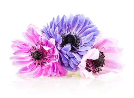 Anemone lila auf weißem Hintergrund