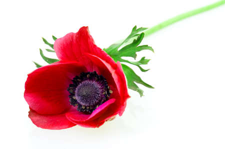 red poppy with leaf on a white background photo