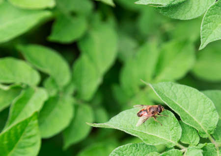Potato sprouts are blooming, the Colorado potato beetle photo