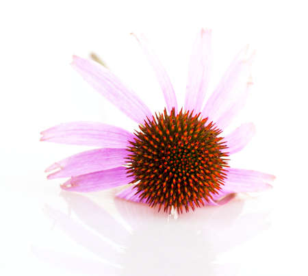 Echinacea isolated on white background photo