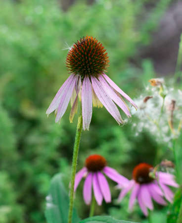 Echinacea among the greenery in the garden photo