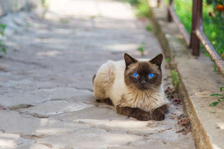 Siamese cat outside in the afternoon photo