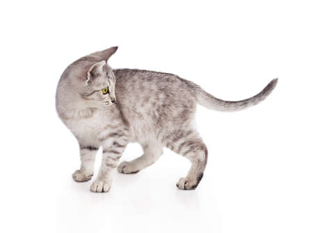 gray striped tabby cat kitten  isolated on white background photo
