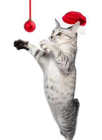 gray tabby: gray tabby cat Isolated on white