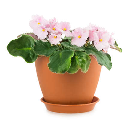 violet flower pot isolated on white background photo
