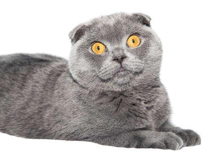 Britse Fold kat geïsoleerd op een witte achtergrond