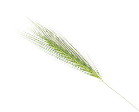 spikelets: spikelets Isolated on white background Stock Photo