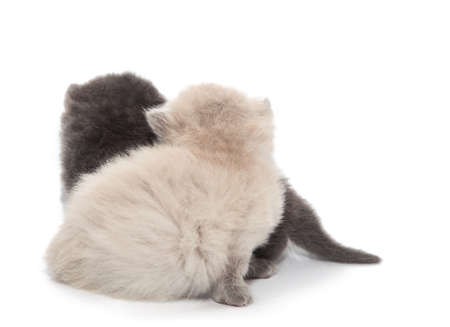 gray and white two little kitten Isolated on white background photo