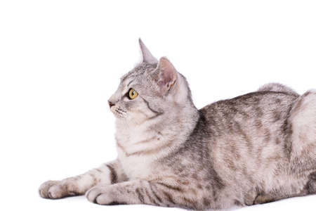 gray tabby: gray tabby cat European portrait