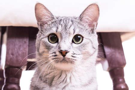 gray tabby: gray tabby striped cat plays chair legs