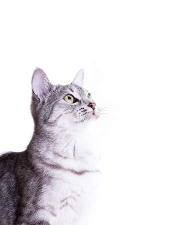 gray tabby: gray tabby striped cat Isolated on white background Stock Photo