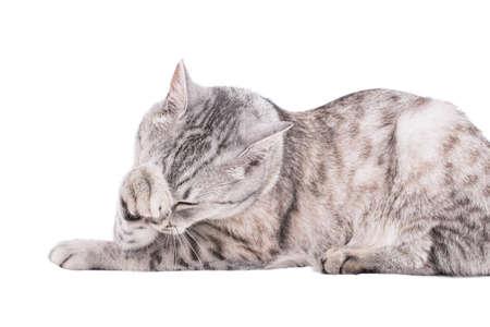 gray cat: gray tabby cat European portrait