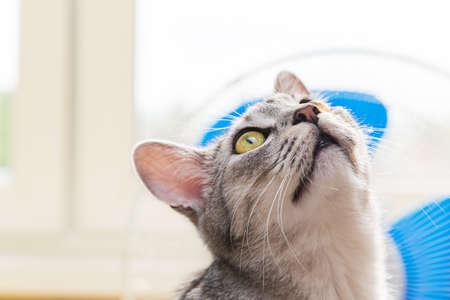 gray tabby: gray tabby cat Background to the fan