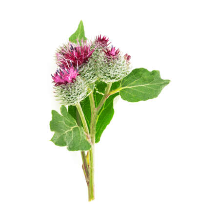 burdock head isolated on white background