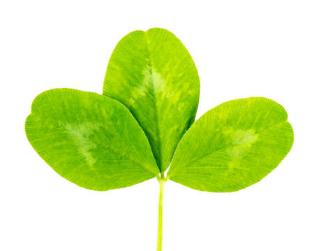 clover green leaf Isolated on white background photo