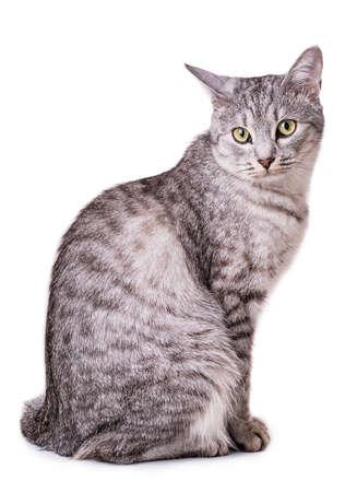grijze cyperse kat geïsoleerd op witte achtergrond royalty-vrije