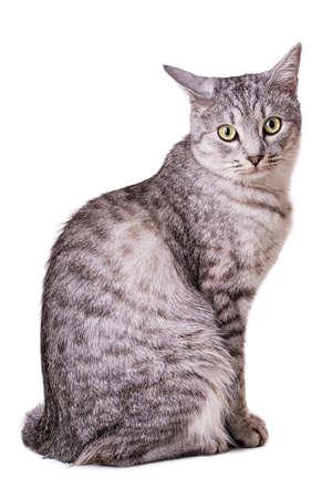 grau getigerte Katze auf weißem Hintergrund