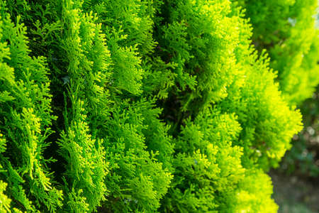 thuja green plant close up photo