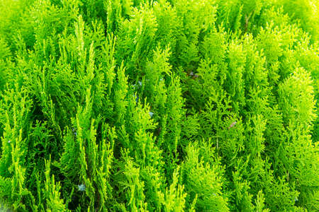 hedging: thuja green plant close up