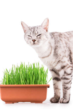 green grass cat Isolated on white background photo