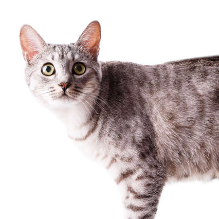 gray tabby: gray tabby cat Isolated on white background Stock Photo